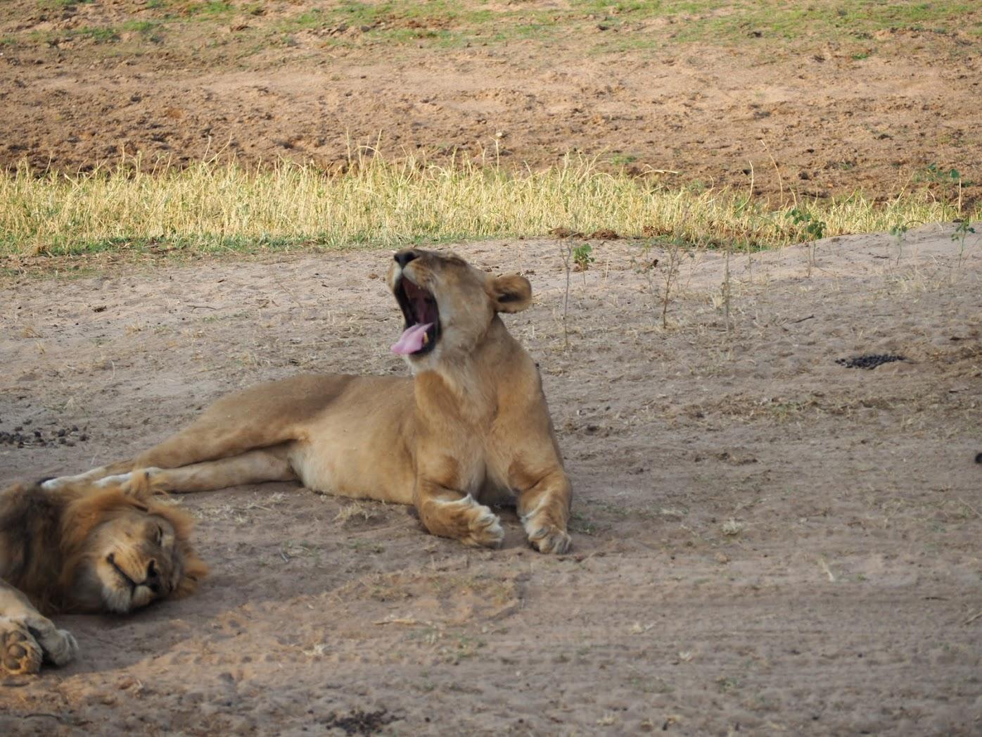 「ランニング禁止? 『ライオン・キング』舞台をラントリップ」の画像